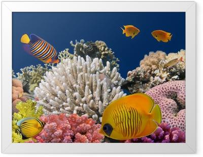 Ingelijste Poster Onderwater leven van een hard-koraalrif, Rode Zee, Egypte