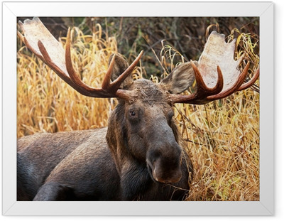 Gerahmtes Poster Moose Bull Portrait / Male, Alaska, USA