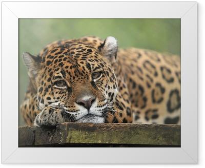 captive jaguar looking solemn, costa rica Framed Poster
