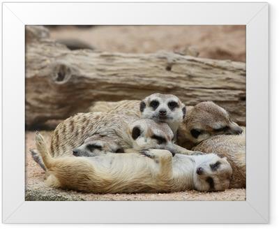 Gerahmtes Poster Erdmännchen schlafen