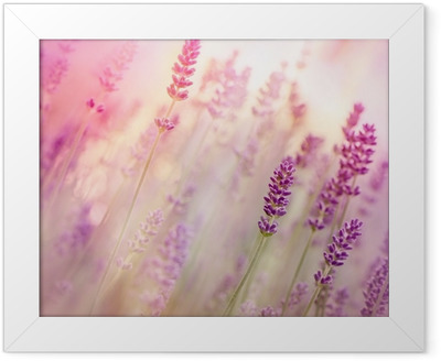 Ingelijste Poster Mooie lavendel in de bloementuin