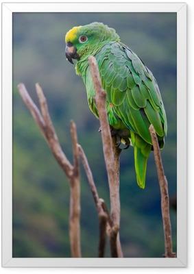 Ingelijste Poster Costa rica groene papegaai