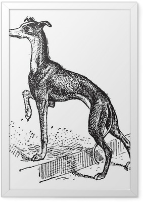 Greyhound, vintage engraving Framed Poster