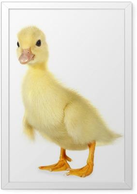 Poster en cadre Caneton jeune bébé canard