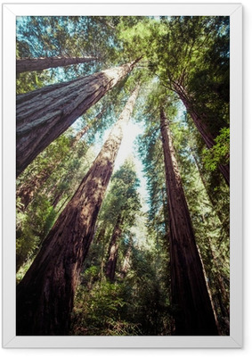redwood national park in california, usa Framed Poster
