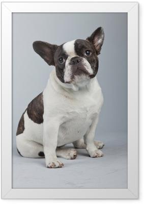 Innrammet plakat Fransk bulldog svart og hvit isolert mot grå bakgrunn.