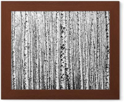 Plakat w ramie Wiosenne pnie brzozy czerni i bieli