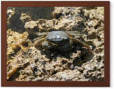 Tableau crabe gris 2 posters encadres crabe gris.jpg