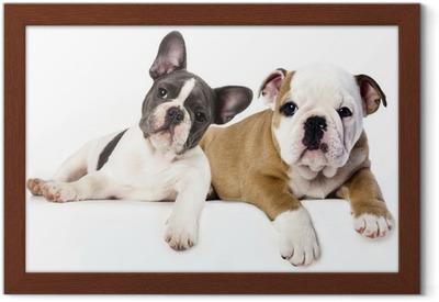 Ingelijste Poster Franse Bulldog en Engels Bulldog puppy