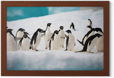Gerahmtes Poster Pinguine auf dem Schnee
