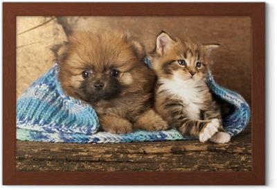 Poster i Ram Spitz valp och kattunge raser Maine Coon, katt och hund