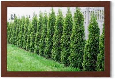 przemyślenia na temat kup tanio różne kolory Thuja, la fila de árboles en el jardín