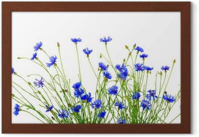 544c23379c9 Bouquet af smukke levende blå blomster af cornflower isoleret Plakat •  Pixers® - Vi lever for forandringer