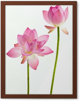 Twain pink water lily flower (lotus) and white background. Framed Poster