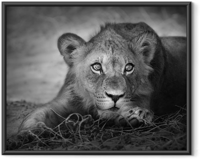Young lion portrait Framed Poster