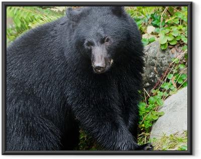Black Bear Portrait,Vancouver Island, Canada Framed Poster