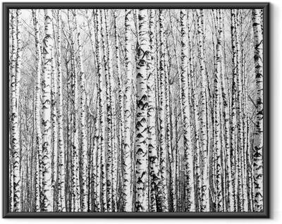Poster en cadre Troncs de printemps de bouleaux noir et blanc