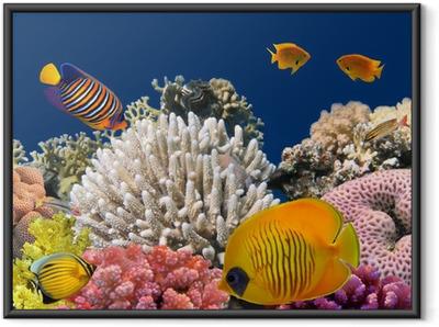 Vedenalainen elämä kova koralliriutta, punainen meri, egypti Kehystetty juliste