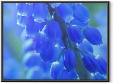 Ingelijste Poster Blauwe parel hyacint