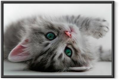Kitten rest - isolated Framed Poster