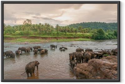 Poster en cadre Swimmong éléphants
