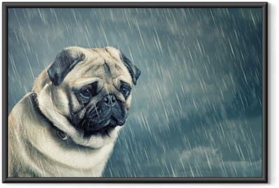 Poster en cadre Pug in the Rain