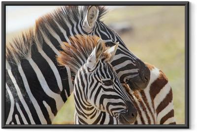Gerahmtes Poster Baby-Zebra mit Mutter