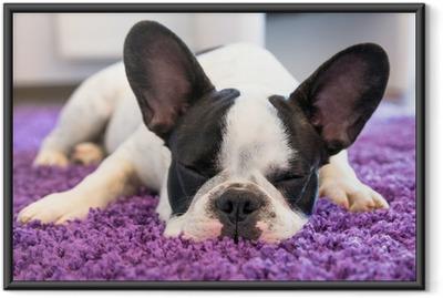 Poster en cadre Bouledogue français de dormir sur le tapis - Bouledogues français
