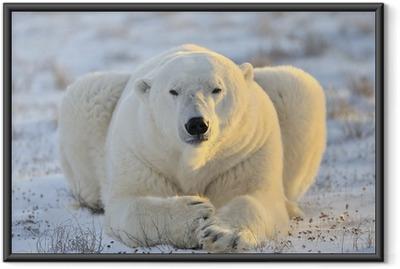 Póster Enmarcado Oso polar que miente en la tundra.