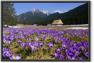 Poster en cadre Crocus dans Chocholowska vallée, Tatras, Pologne