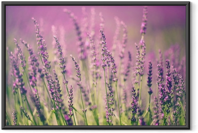 Plakat w ramie Kwiat lawendy