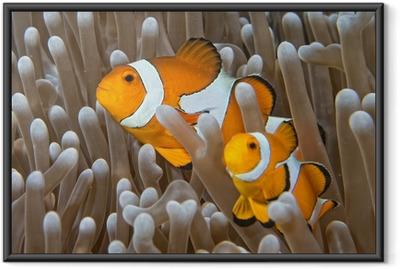 Ingelijste Poster Clown vis, terwijl op zoek naar jou van anemoon