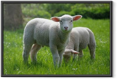 Ingelijste Poster Lamm (Schaf) auf Weide