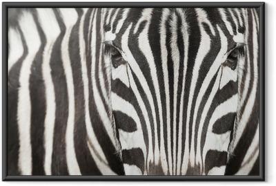 Gerahmtes Poster Close-up von Zebra Kopf und Körper mit schönen Streifenmuster