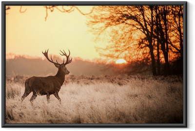 Gerahmtes Poster Red Deer in Morgensonne.
