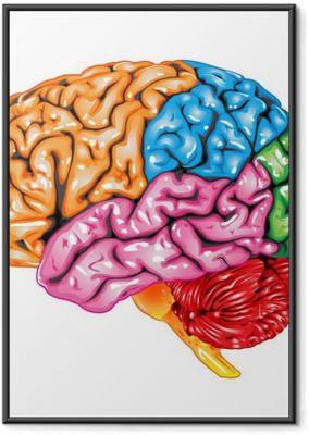 Human brain lateral view Framed Poster
