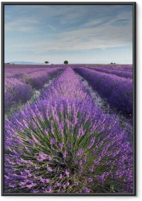 Ingelijste Poster Lavendel veld in Provence tijdens de vroege uren van de ochtend