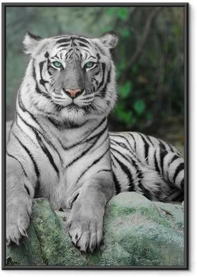 Hvid tiger på en sten i zoo Indrammet plakat