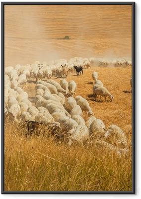 Ingelijste Poster Kudde schapen in een veld van Toscane