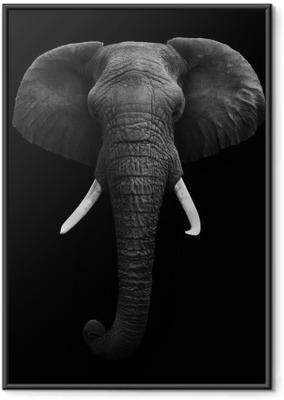 Póster Enmarcado African Elephant - Aislado