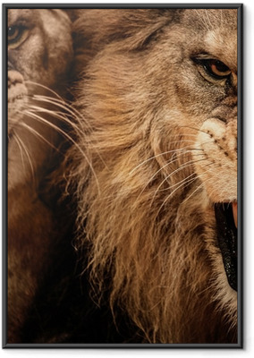 Gerahmtes Poster Close-up Schuss von zwei brüllender Löwe