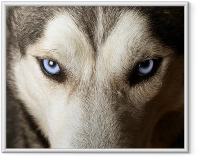 Close view of blue eyes of an Husky or Eskimo dog. Framed Poster