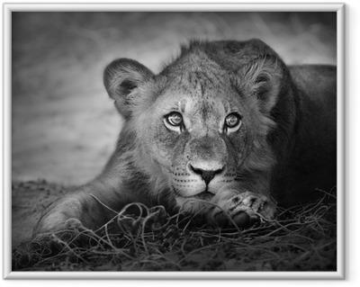 Poster i Ram Unga lejon porträtt