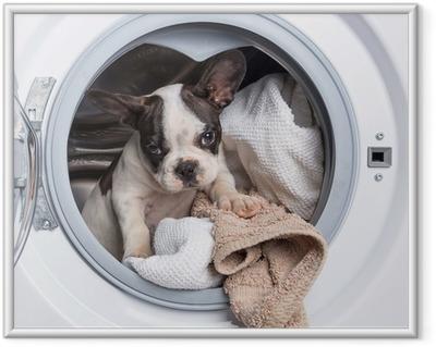 Póster Enmarcado Cachorro bulldog francés dentro de la lavadora