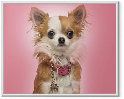 Plakat w ramie Chihuahua ma na sobie błyszczącą kołnierz, siedzący na różowym tle