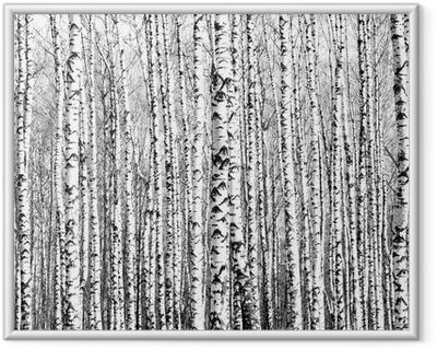 Koivupuiden kevätrungot mustavalkoisena Kehystetty juliste