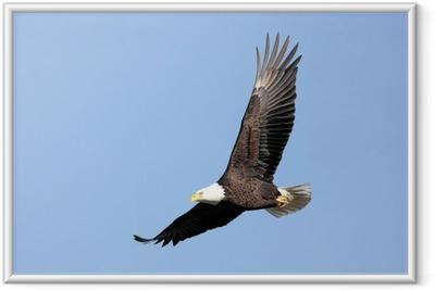 Gerahmtes Poster Erwachsene Bald Eagle (Haliaeetus leucocephalus) im Flug gegen
