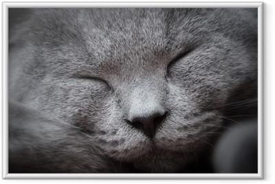 Póster Enmarcado Primer de la cara de un gato joven linda que duerme felizmente. El británico corto