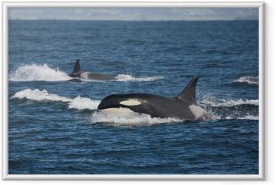Poster en cadre L'équipe Orca - Animaux marins