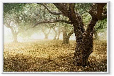 Ingelijste Poster Oude Olijfbomen